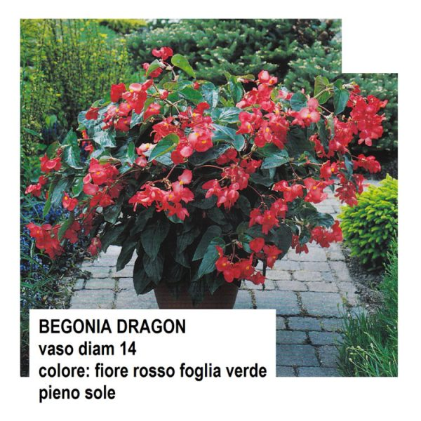 BEGONIA-DRAGON