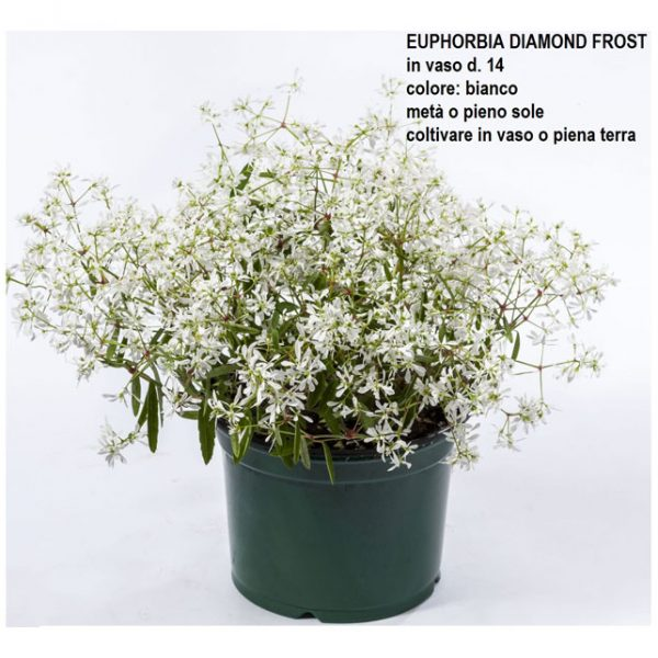 EUPHORBIA-DIAMOND